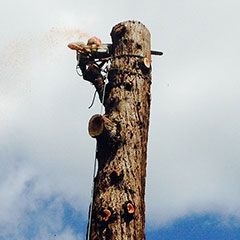 A tree surgeon climbs a tall tree trunk in preparation to fell it safely