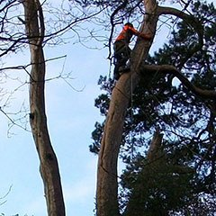 A tree surgeon climbs a pine tree ready to begin dismantling