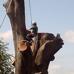 A tree surgeon works on pollarding a very large and old oak tree