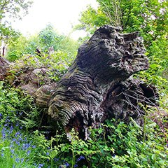 A decaying tree lies in a woodland clearing