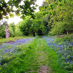 A woodland display of bluebells