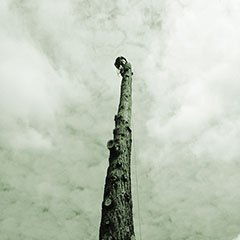 A tree surgeon climbs a very high tree trunk in preparation to fell it safely