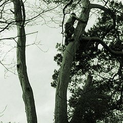 Black and white image of a tree surgeon climbing a pine tree ready to begin dismantling