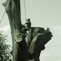 Black and white image of a tree surgeon works on pollarding a very large and old oak tree